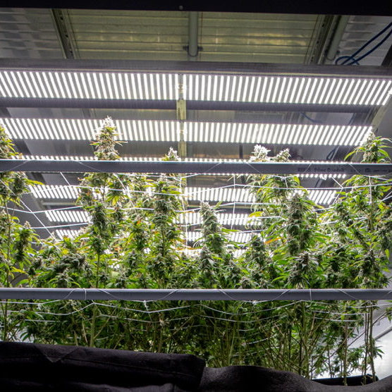 Shipping Container Farm for Cannabis Growing